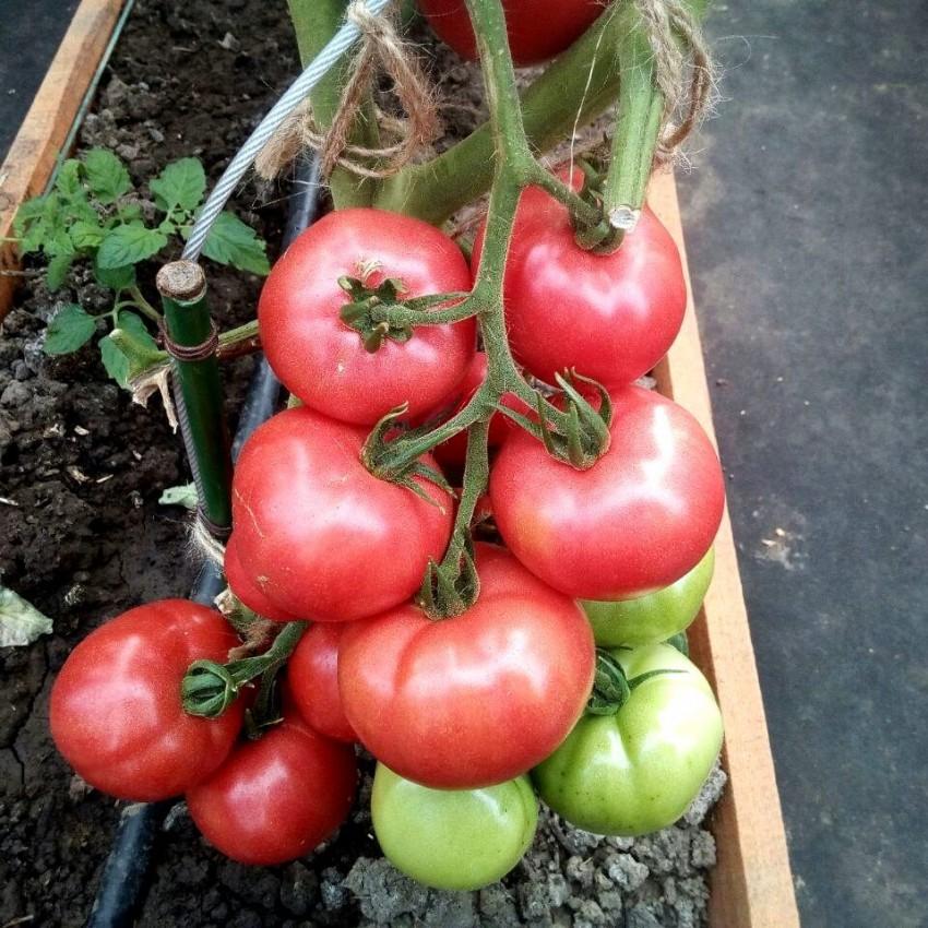 федеральной помидоры сорта для открытого грунта фото воробьев