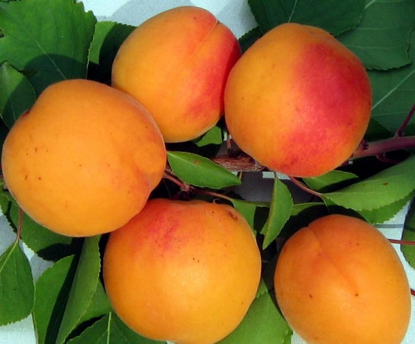 Почему абрикос сбрасывает цветы, завязь и недозрелые плоды