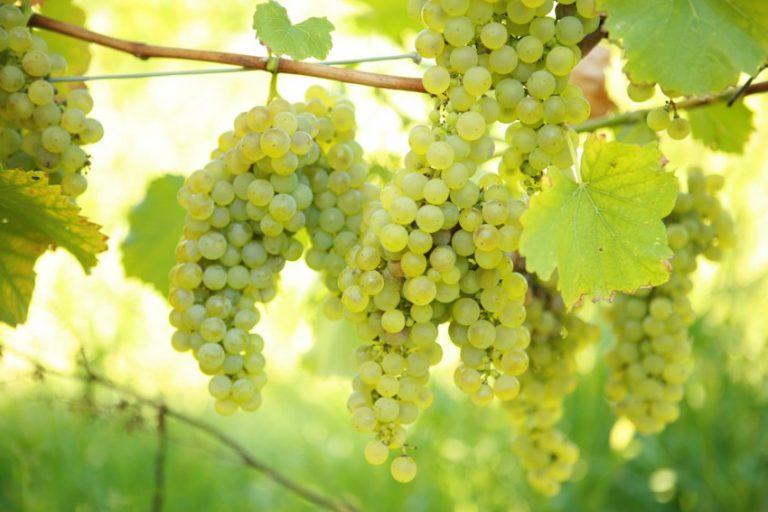 Сорт винограда кармен фото и описание