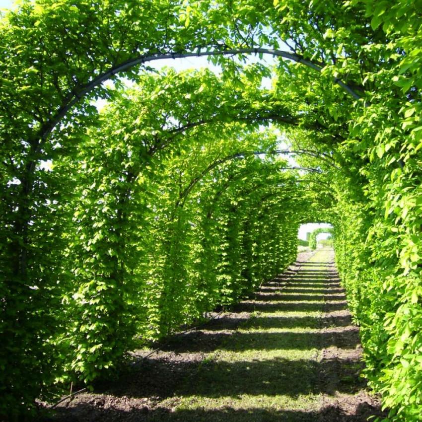 Дерево граб, где растет в России, особенности выращивания, область применения