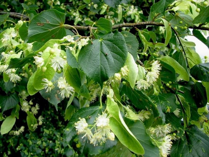 Дерево Липа: описание ствола, кроны, плодов, цветков