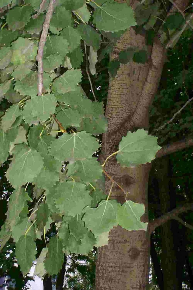 Как выглядит дерево осина фото автомобиль
