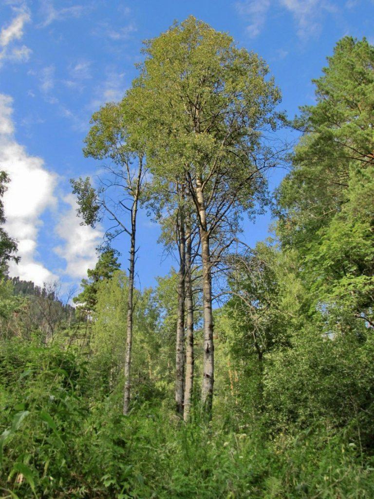 как выглядит дерево осина фото делайте длинными