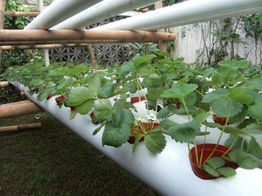 Гидропоника: оборудование для выращивания клубники, установка, как сделать своими руками