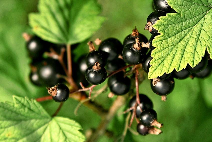 Как пересаживать черную смородину поздней осенью