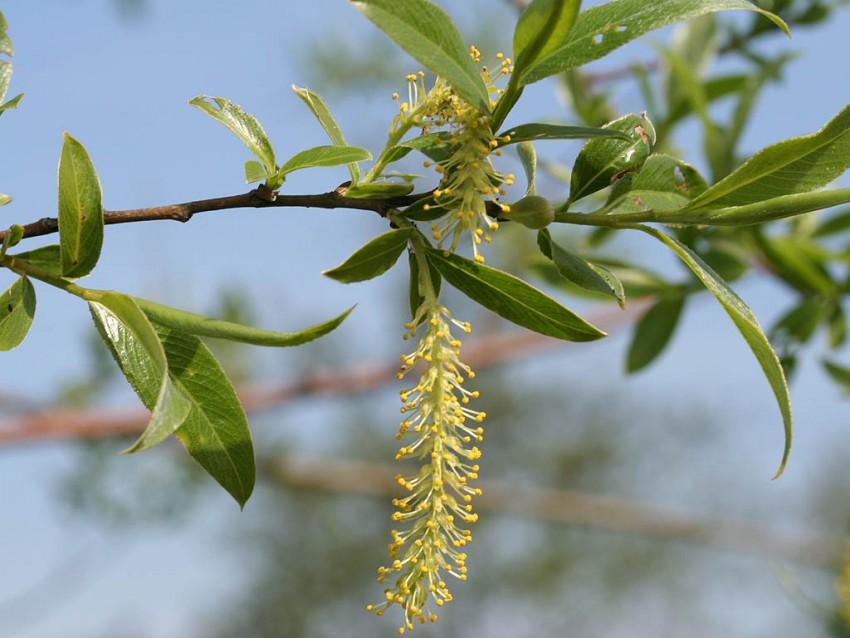 Ива дерево фото листьев