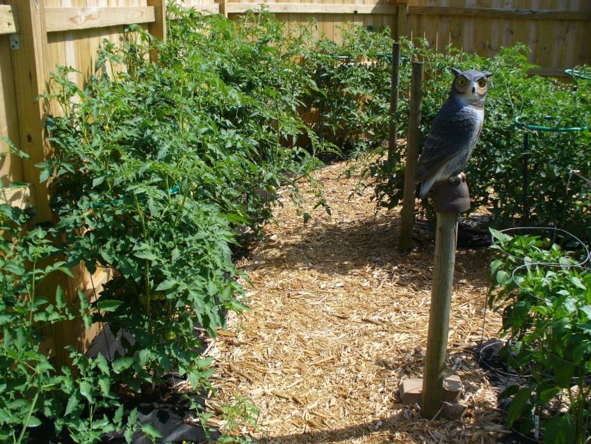 Мульчирование томатов в теплице и открытом грунте как и чем правильно