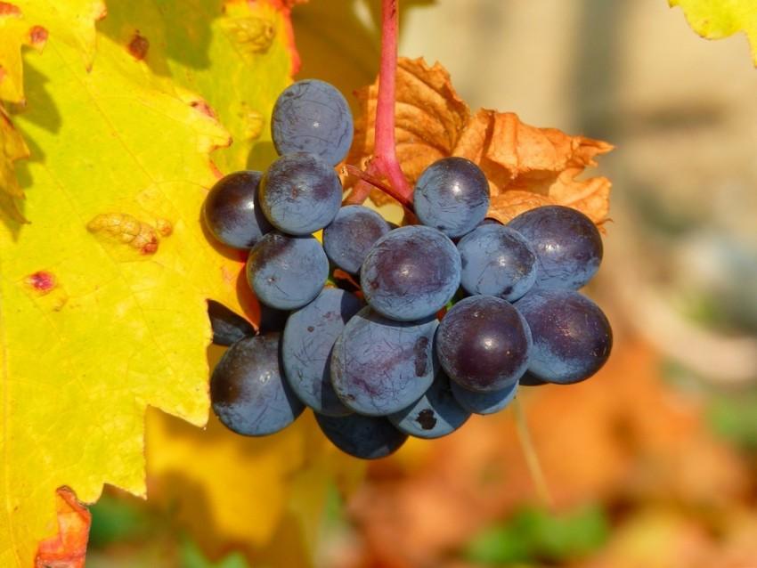 На какой год после посадки саженцами плодоносит виноград когда начинает давать первый урожай
