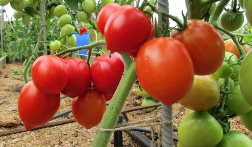 Вянут макушки у помидор в теплице