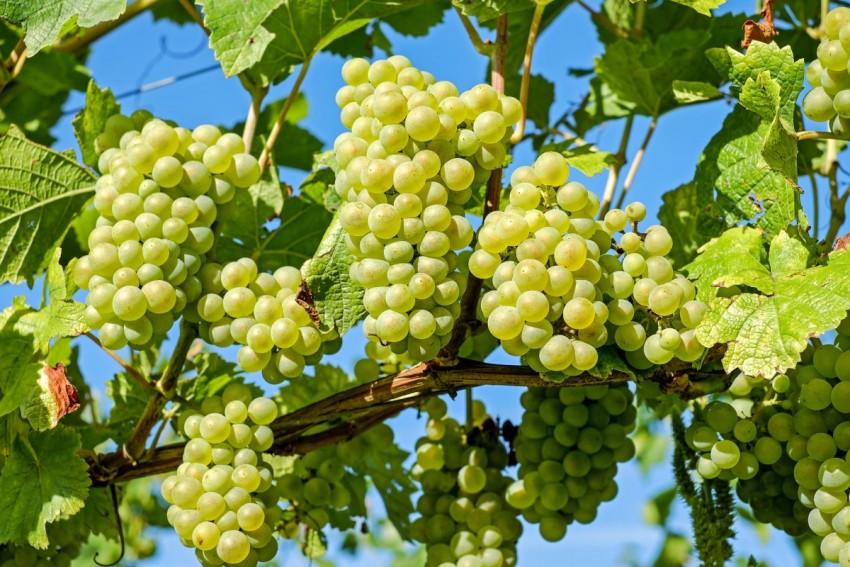 Дырки на винограде что это
