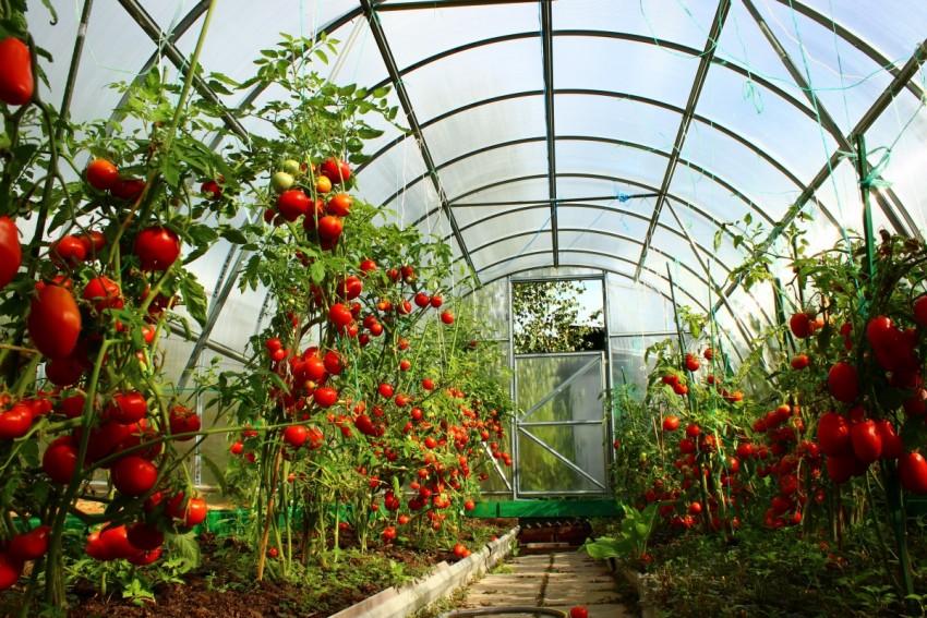 Ранние сорта помидор - 95 фото лучших семян и способы их посадки