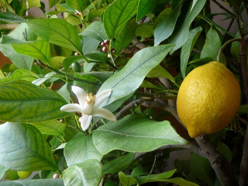 Как размножать лимон черенками