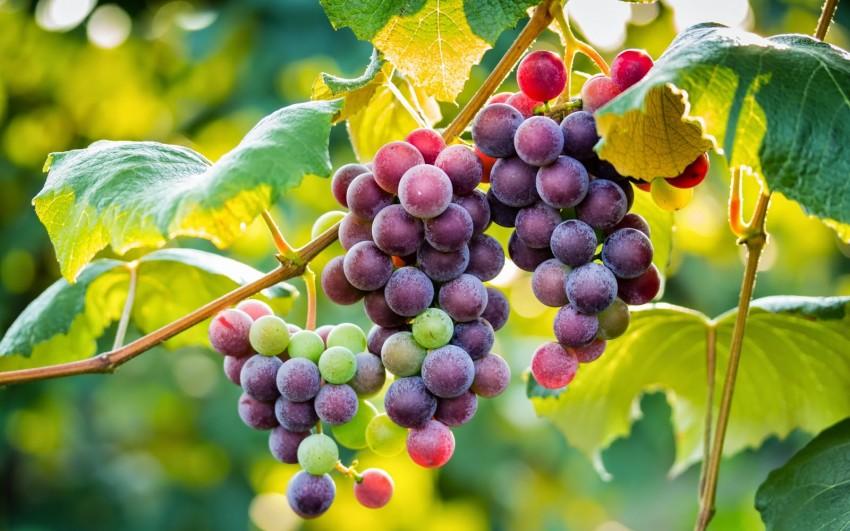 Почему сохнут листья у винограда, видео