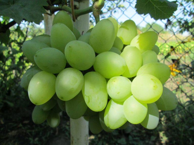 фото винограда новая аркадия выезде