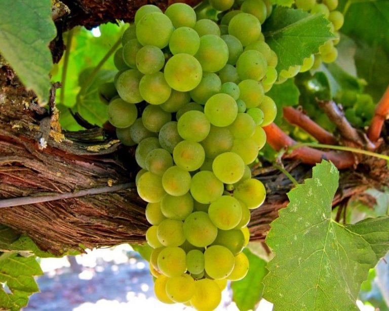 Виноград разновидности картинки