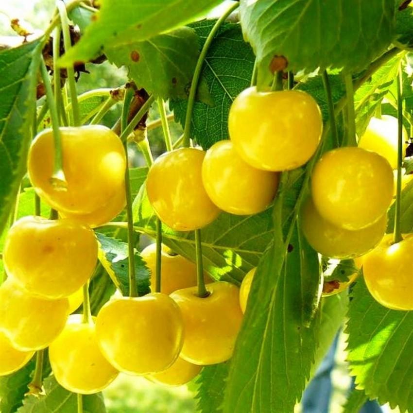 Сорт черешни желточек