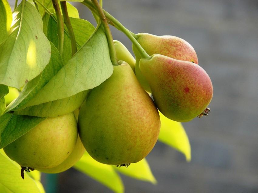 Как привить грушу весной, летом в августе и осенью; как привить грушу на яблоню