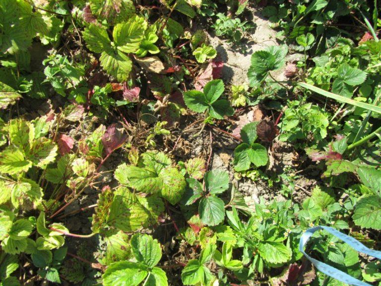 мария это садовая земляника засыхают плоды фото макетчиков