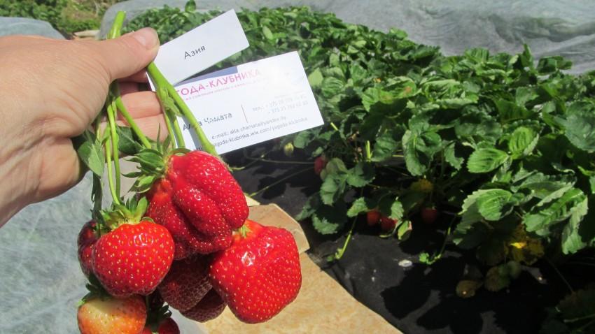 Как я училась  на своих ошибках выращивать землянику (клубнику)