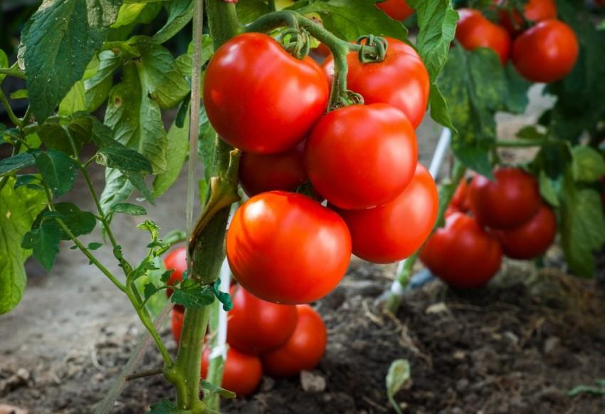 Описание, характеристика, посев на рассаду, подкормка, урожайность, фото, видео и самые распространенные болезни томатов сорта «Андромеда F1».